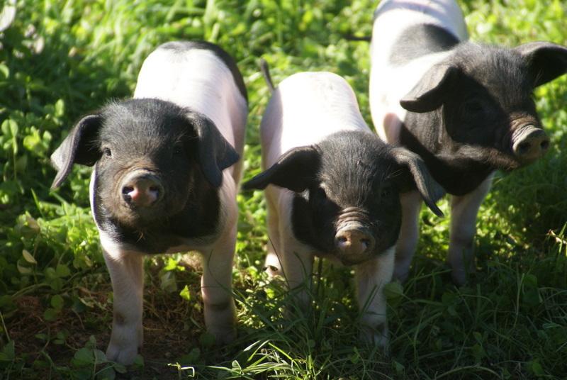 """Résultat de recherche d'images pour """"cochons pays basque"""""""
